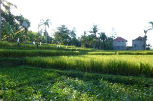 Rice Paddy 300x198 Overcoming Fear   Motorbikes and Massages Ubud